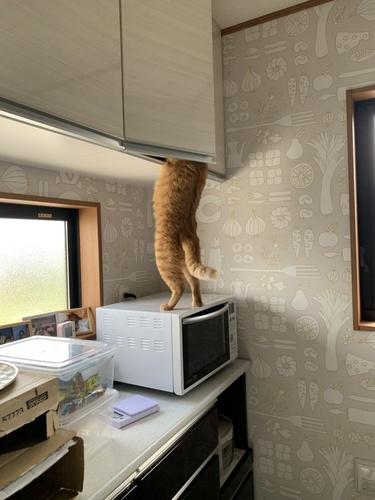 楽勝ニャ! 人でも届きにくい吊戸棚からおやつを盗む泥棒猫あらわる 電子レンジを踏み台にする衝撃の犯行