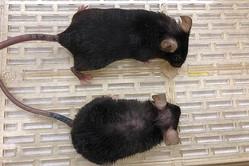 明暗が分かれたマウス((下)老化マウス(上)若返りマウス)