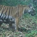 発見された「幻のトラ」 (WWFチャンネルより)