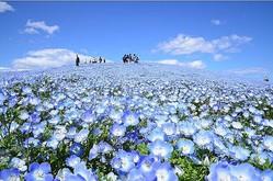 """みはらしの丘が、この時期だけ""""ネモフィラの丘""""に変身!一面に咲き誇る約530万本のネモフィラは圧巻のひと言"""
