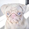 世界で100匹以下のセレブ犬 青い目にほんのりピンク色ボディのパグ