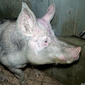 仏ブルターニュ地方ブリエックの豚肉処理場。動物愛護団体L214提供の動画より(2021年5月4日公開)。(c)AFP PHOTO / L214