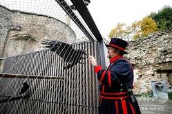 英ロンドン塔の護衛兵ヨーマン・ウォーダーで、カラスの飼育係「レイヴンマスター」を務めるクリス・スカイフさん(2020年10月12日撮影)。(c)TOLGA AKMEN / AFP