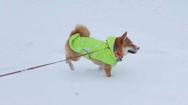 雪と桜、そして柴犬…神に愛された最強の癒しコンビネーションの誕生に全インターネットが悶絶