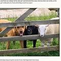 犬と信頼関係を築き、とても仲が良さそうな羊(画像は『LaptrinhX / News 2021年3月28日付「Sheep rejected by mum now thinks she's a dog」(Picture: Gilly Chippendale/Caters News)』のスクリーンショット)