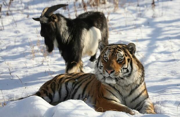 [画像] トラと友情育んだヤギ死ぬ 仲たがいで体調悪化 ロシア