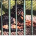 動物園でオオカミの代わりに犬を一般公開(画像は『Mirror 2021年3月6日付「Chinese zoo 'tries to pass dog off as a wolf' in cage after animal dies of old age」(Image: AsiaWire)』のスクリーンショット)