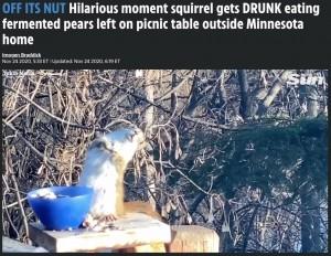 [画像] 【海外発!Breaking News】発酵した梨を食べた野生のリス、酔って放心状態に(米)<動画あり>