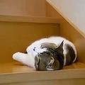 パパの帰りが待ちきれず…階段でスヤスヤし始めちゃった猫ちゃん
