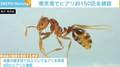 東京港でヒアリ約150匹を確認