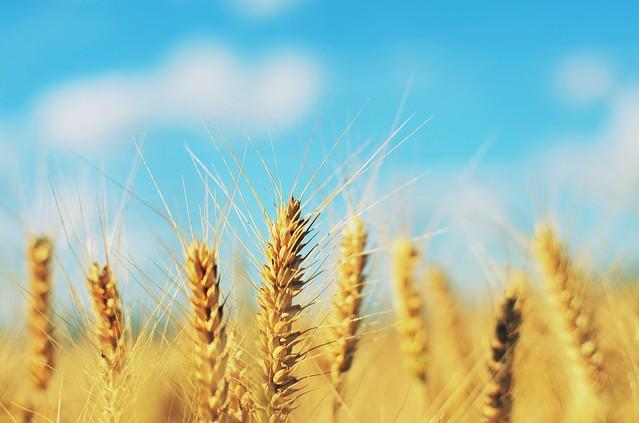 大麦 と 小麦 の 違い