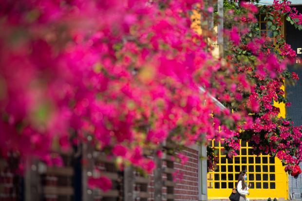 春たけなわ 鮮やかな花々咲き誇るマカオ - ライブドアニュース