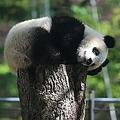 中国メディアは、「どうして日本にいるパンダはきれいで、中国のパンダは汚れているのか」とする記事を掲載した。(イメージ写真提供:123RF)