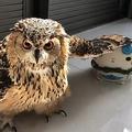 子供用の椅子に広げた羽を載せるガルー。思わず「何してんの?」と聞きたくなる(ツイッター「げんさんとガルー」@Gen3Act03より)