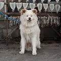 人気の秋田犬「わさお」が8日に死ぬ 死因は多臓器不全