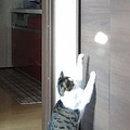 壁に反射する光に「超反応」じゃれて遊ぶ猫ちゃんが可愛い動画