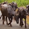 インドの牛密売人の男 輸送中に盗んだ牛に股間を蹴り上げられ死亡