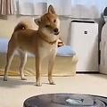 柴犬の前でルンバを起動「はてはてふむ〜?」という仕草にキュン