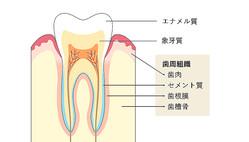 「歯肉」「歯槽骨」「歯根膜」「セメント質」が「歯周組織」