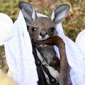 森林火災から救出され、豪シドニー郊外にある野生動物保護団体ワイヤーズの施設に保護されているカンガルー(2020年1月9日撮影)。(c)SAEED KHAN / AFP