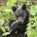 クマがポリ袋を誤食も  世界自然遺産の北海道・知床で不法投棄が増加