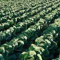 農業など人手不足の職場へ外国人技能実習生が派遣されることが多い(イメージ)