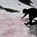 伊プレゼナ氷河で見られるピンク色の雪のサンプルを採る、イタリア学術会議のビアージョ・ディマウロ氏(2020年7月4日撮影)。(c)Miguel MEDINA / AFP