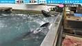 「イルカショーみたい」水槽で荒ぶるハマチがネットで話題