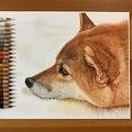 毛並みフサフサ 色鉛筆で描かれた柴犬がTwitterで話題に