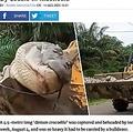 ブルドーザーで運ばれる巨大ワニ(画像は『UNILAD 2020年8月11日付「Half-Tonne 'Demon Crocodile' Captured And Beheaded By Locals In Indonesia」(Viral Press)』のスクリーンショット)