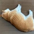 寝っ転がる柴犬の写真に「ウリ坊だな」「ぬいぐるみみたい」の声