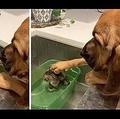 シェルターからやって来た子猫の頭を撫でる犬(画像は『Caters Clips 2019年10月7日公開 YouTube「Dog Comforts Tiny Foster Kitten」(Stephanie Vice)』のサムネイル)