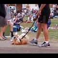 死んだふりをする犬(画像は『RM Videos 2017年8月7日公開 YouTube「I don't wanna go home yet」(Jukin Media Verified)』のサムネイル)