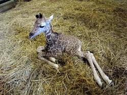 上野動物園で生まれたキリン=提供・(公財)東京動物園協会