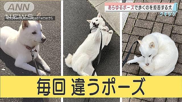 あらゆるポーズで歩くのを拒否する犬、爆誕!「犬のピクトグラム!」