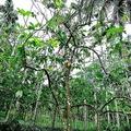 カカオの木。30年以内に絶滅の可能性もあるという研究が発表された。