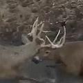 米カンザス州で鹿2頭が枝角を絡ませ動けなくなる 銃を撃って救助する