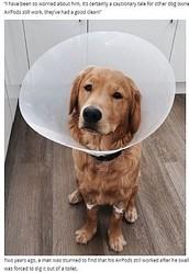 おやつと間違えてAirPodsを飲み込んでしまったゴールデン・レトリバー(画像は『WalesOnline 2021年4月15日付「Emergency surgery after puppy eats Apple AirPods」』のスクリーンショット)