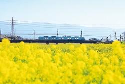 小石原川の菜の花。4月上旬までが見ごろだ/撮影/松井淳一