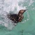 潜るのが難しい…モフモフの子ペンギンが泳ぎの練習「圧倒的浮力」