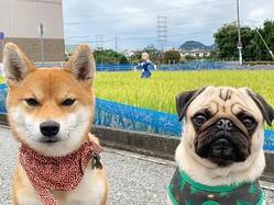 散歩コースである田んぼの前にたたずむ、柴犬のアキとパグのラル(画像提供:きたむらさん)