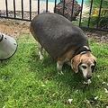 5月に保護された時のビーグル犬(画像は『Wolfgang 2019年5月22日付Instagram「Hi guys, my name is Wolfgang and I was rescued this weekend by @arizonabeaglerescue and now I'm concentrating on living my best life!」』のスクリーンショット)