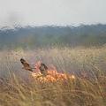 火を使って狩りをする鳥が3種類 豪で発生する大規模な火事の原因にも