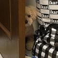 ドアの陰からチラリ…雷におびえる愛犬「めちゃくちゃ可愛い」