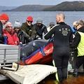 オーストラリア南部タスマニア島マッコーリーハーバーで行われる、打ち上げられたクジラの救助活動(2020年9月24日)。(c)Mell CHUN / AFP