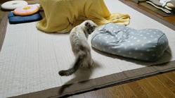 しっぽ遊びに夢中になってるのを見られちゃった…気まずそうな猫さんの反応に笑わざるを得ない