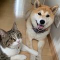 「お散歩かな?」ウキウキする柴犬にお手手ポンして制止する猫が話題