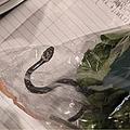 袋入りレタスから生きた毒蛇 豪