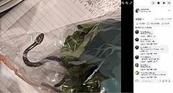 ロメインレタスの中で眠っていたヘビ(画像は『Lesley Kuhn 2021年4月13日付Facebook「Check packaged lettuces carefully.」』のスクリーンショット)