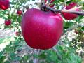 リンゴの果肉、まさかのピンク色 長野...